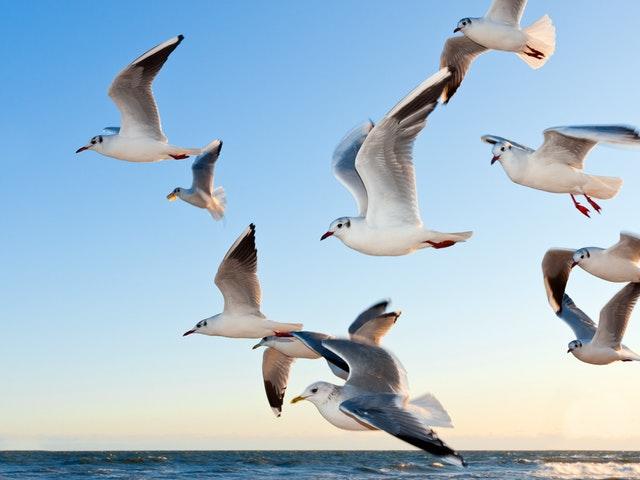 Fiskmåsar som flyger